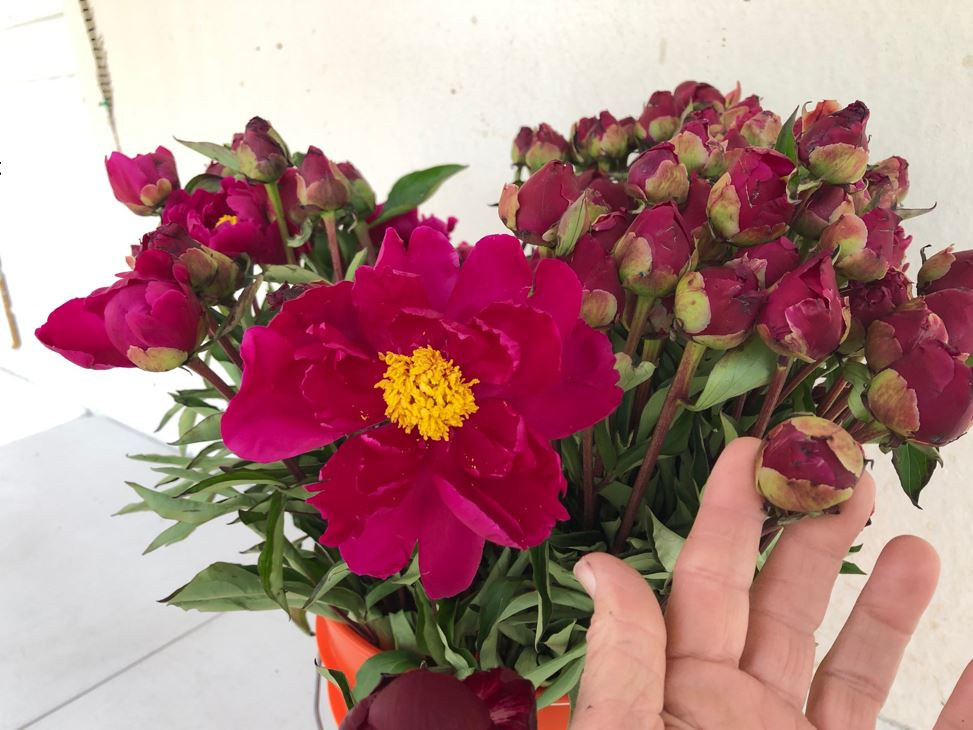 Red Charm has many petals and needs to mature to softer stage in order to open.